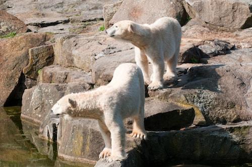 Isbjörnar på Berlin Zoo